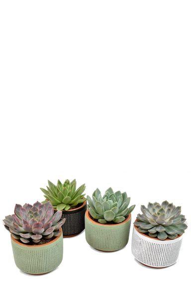 Echeveria plantjes in pot