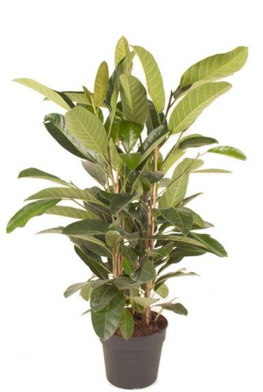 Ficus benghalensis 'Roy' kamerplant