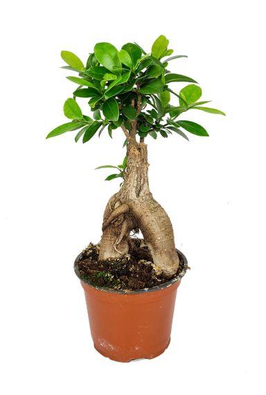 Ficus-ginseng-kopen