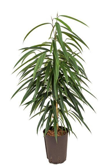 Ficus alii hydrocultuur plant