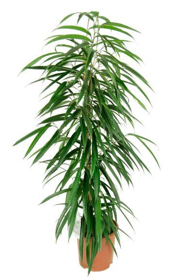 Ficus alii kamerplant 1
