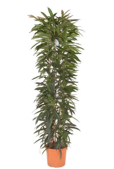 Ficus alii king kamerplant