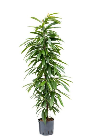 Ficus amstel king hydrocultuur