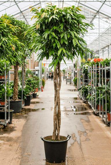 Ficus amstel king kamerplant