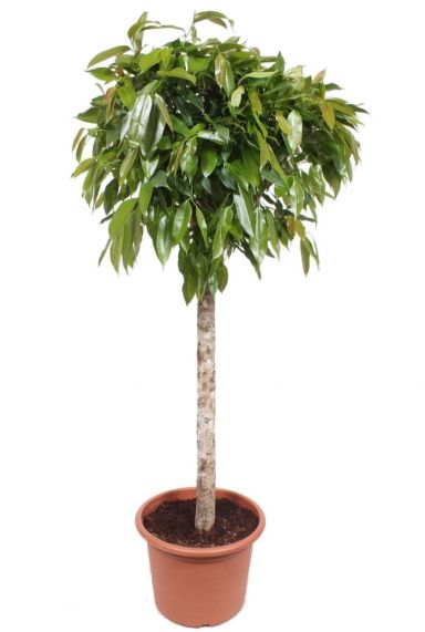 Ficus amstel king kamerplant 2