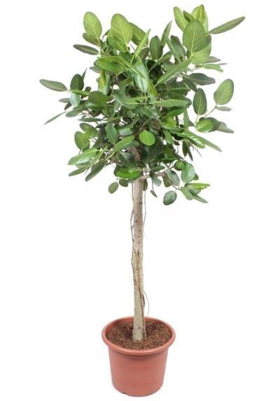 Ficus bengalensis kamerplant