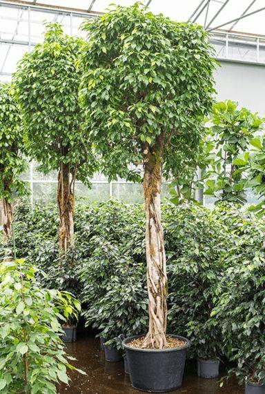 Ficus benjamina boom kamerplant