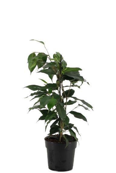 Ficus benjamina danielle 1 1