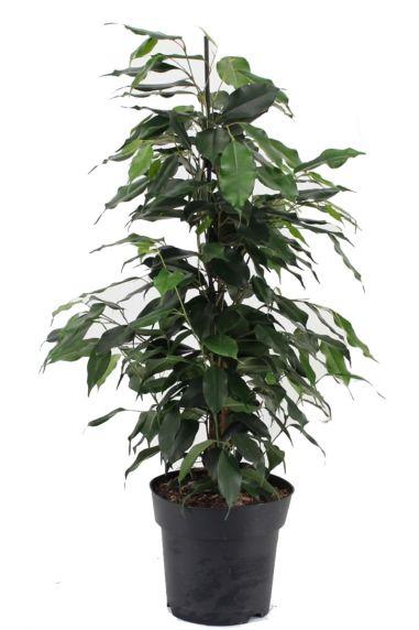 Ficus benjamina danielle kamerplant