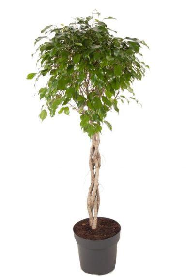 Ficus benjamina exotica plant
