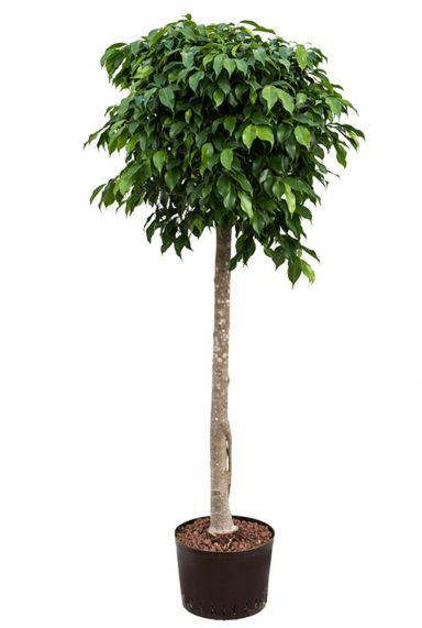 Ficus benjamina hydrocultuur
