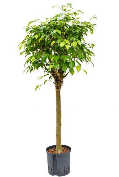 Ficus benjamina treurvijg boom