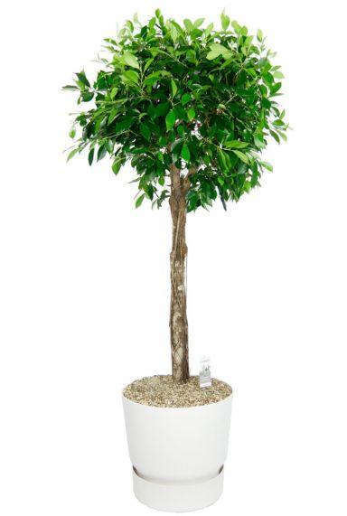 Ficus boom in witte elho pot