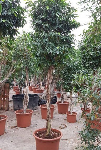 Ficus columnar boom