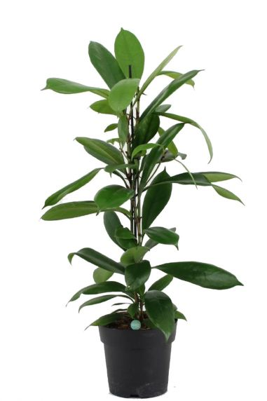 Ficus cyathistipula plant