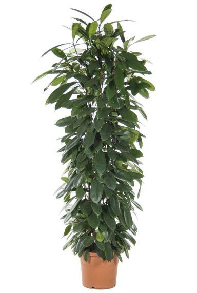 Ficus cyatistipula kamerplant