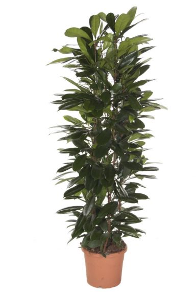 Ficus cyatistipula kamerplant 1