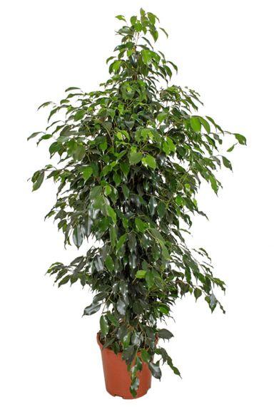 Ficus danielle kopen kamerplant