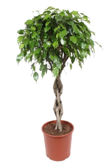 Ficus exotica boom kamerplant