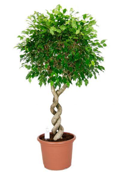 Ficus exotica kamerplant 1
