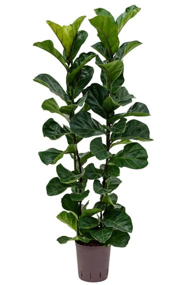 Ficus lyrata bambino hydrocultuur plant