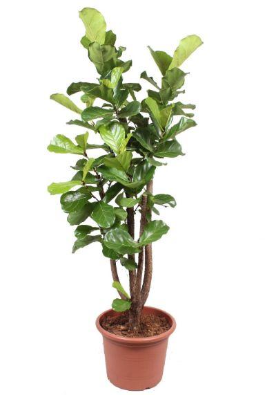 Ficus lyrata grote kamerplant