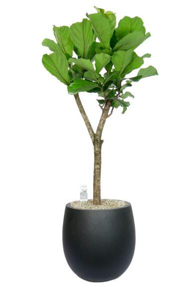 Ficus lyrata in donker grijze pot