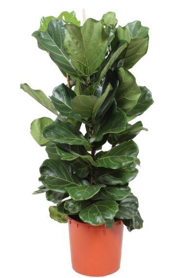 Ficus lyrata kamerplant 2