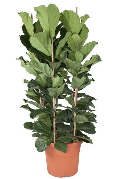Ficus lyrata kamerplant 4