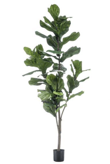 Ficus lyrata op stam 3