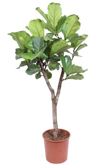 Ficus lyrata plant boom