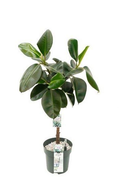 Ficus makana