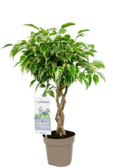 Ficus marole boompje plant