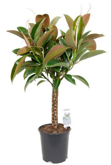 Ficus melany kamerplant op stam