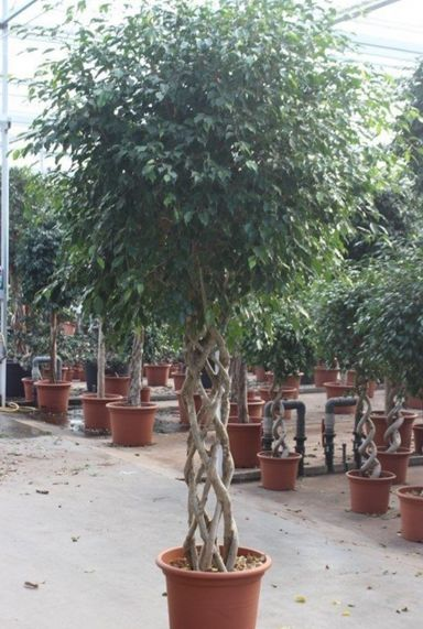 Ficus met mooie stam