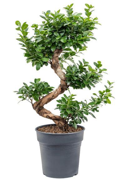 Ficus microcarpa compacta 1