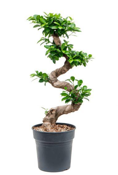Ficus microcarpa kamerplant 3
