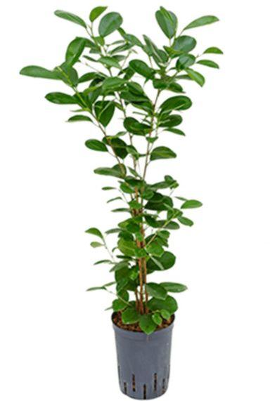 Ficus moclame hydrocultuur