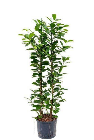 Ficus moclame hydrocultuur 1