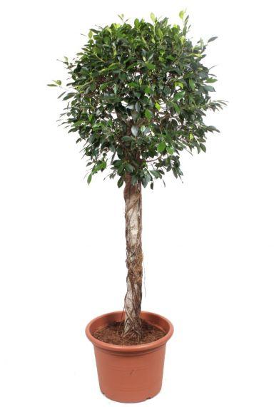 Ficus nitida boom