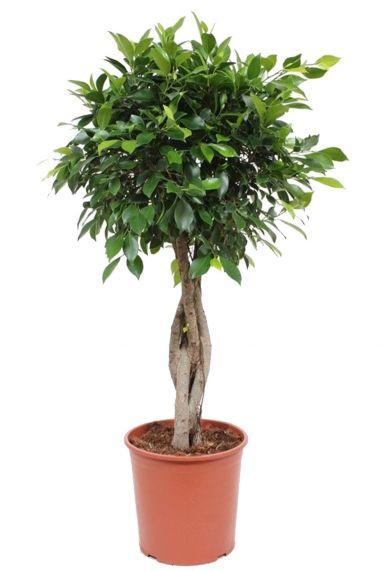 Ficus nitida gevlochten stam