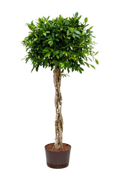 Ficus nitida hydroplant