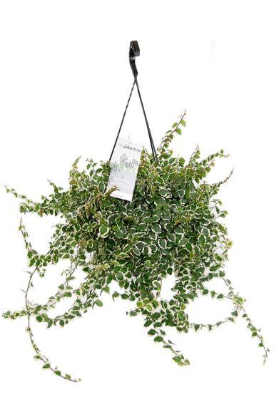 Ficus repens white sunny hangplant
