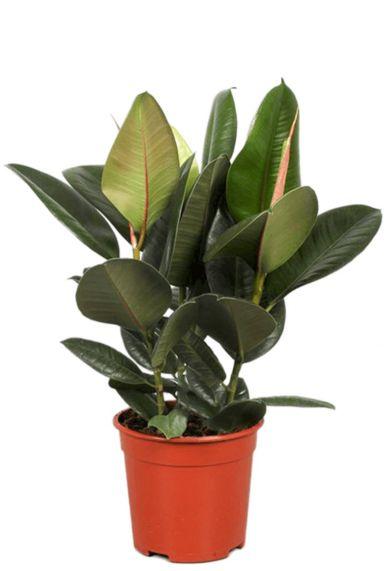 Ficus robusta plant
