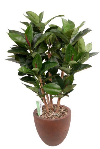 Ficus zijdeplant in pot 1
