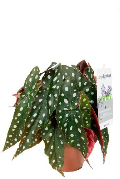 Forelbegonia stip begonia kamerplant