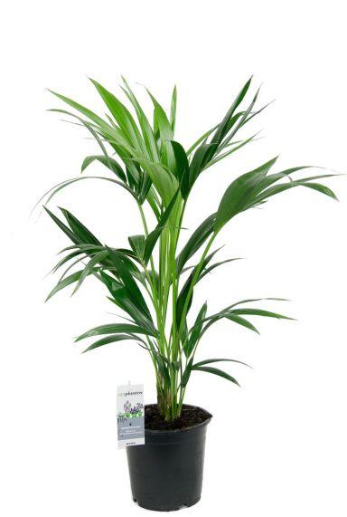 Groene kentia palm