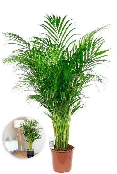 Grote areca kamerplant palm-facebook