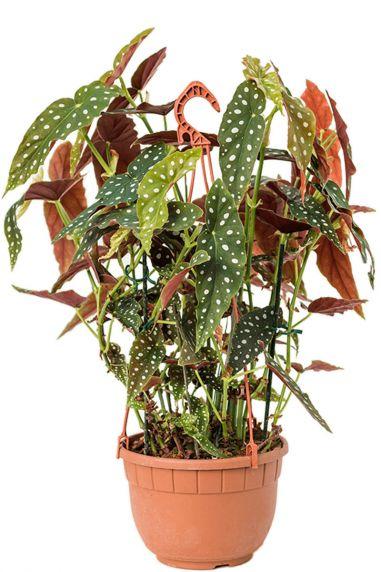 Grote begonia maculata stip begonia