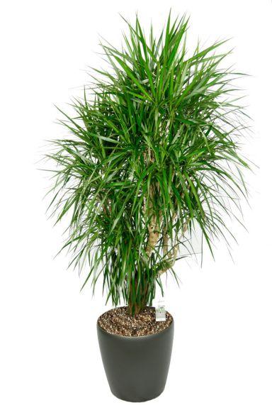 Grote dracaena marginata in pot
